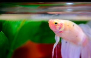 freshwater fish beta