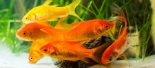 Best Fish Food for Goldfish Various Options