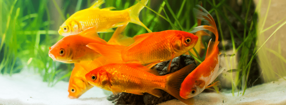 Best Fish Food for Goldfish Keeping Fish Guide