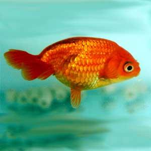 Eggfish Goldfish