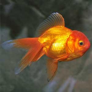 Orando Goldfish