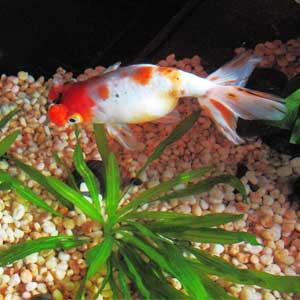PomPom Goldfish