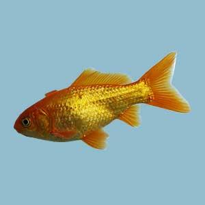Watkin Goldfish
