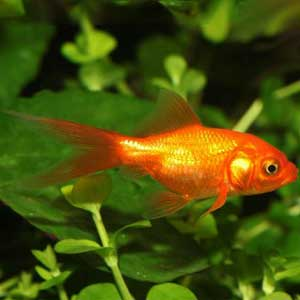 Nymph Goldfish