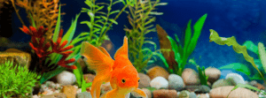 Taking Care of Goldfish Keeping Fish UK