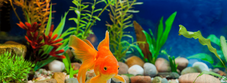 You are currently viewing Taking Care of Goldfish