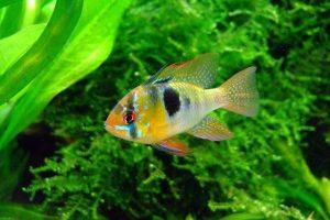 Cichild fish