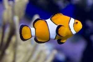 clown fish saltwater aquarium