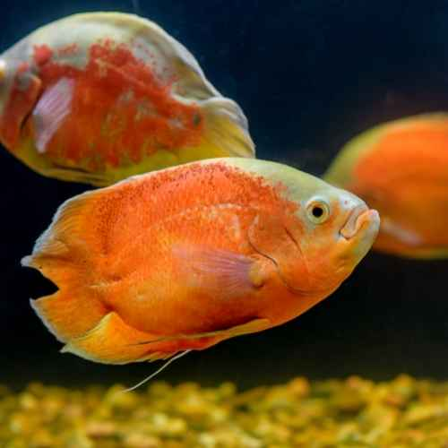 Oscars aquarium fish to avoid for beginners