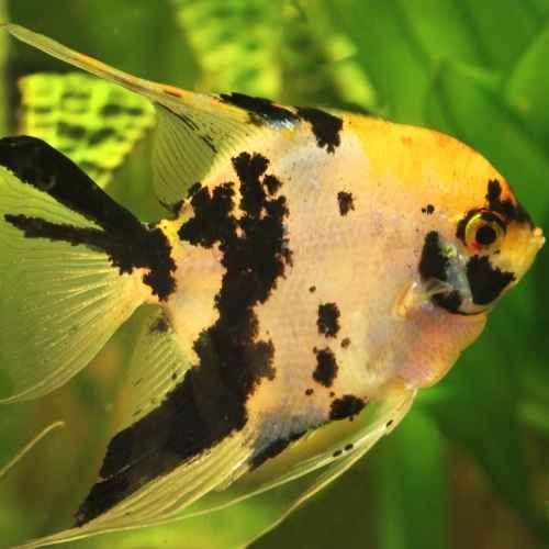 Angelfish aquarium fish to avoid for beginners