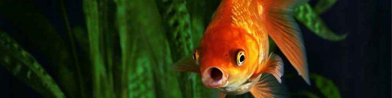 Aquarium Fish to Avoid for Beginners
