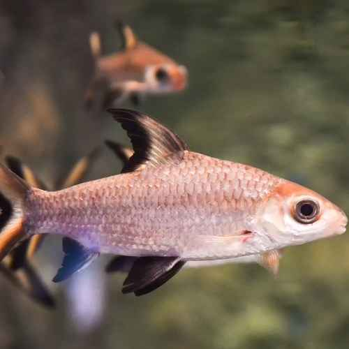 Bala Sharks aquarium fish to avoid for beginners