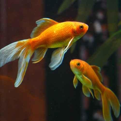 Goldfish aquarium fish to avoid for beginners