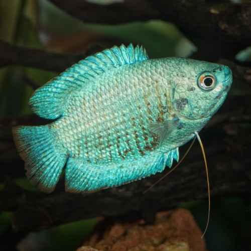Gouramis aquarium fish to avoid for beginners