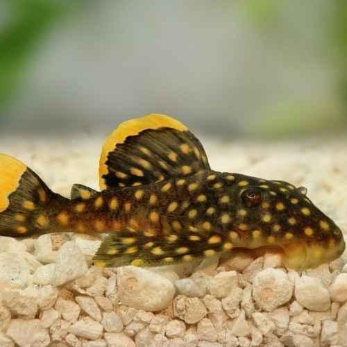 Large Plecos aquarium fish to avoid for beginners